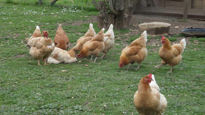 Un élevage de poules - image d'illlustration