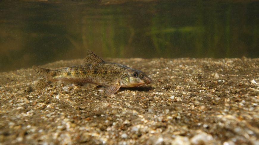 La pêche du goujon, un petit poisson très apprécié en Limousin