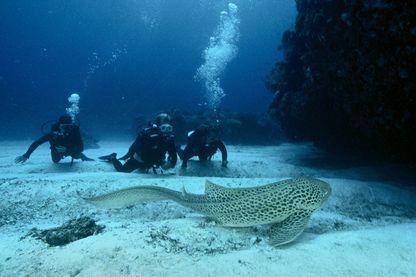 Requin-léopard dans le lagon de Nouvelle Calédonie