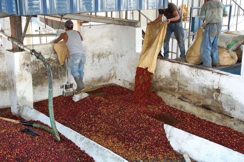 L'arrivée du café à la coopérative Acatenango.