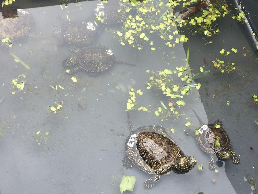 Les tortues pèsent entre 30 et 70 grammes.