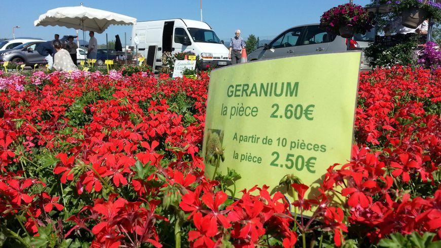 La saison des géraniums est lancée à Colmar