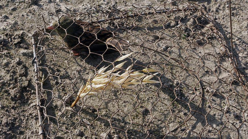 Ortolan piégé vivant sous une matole