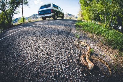 Serpent victime des roues de voiture