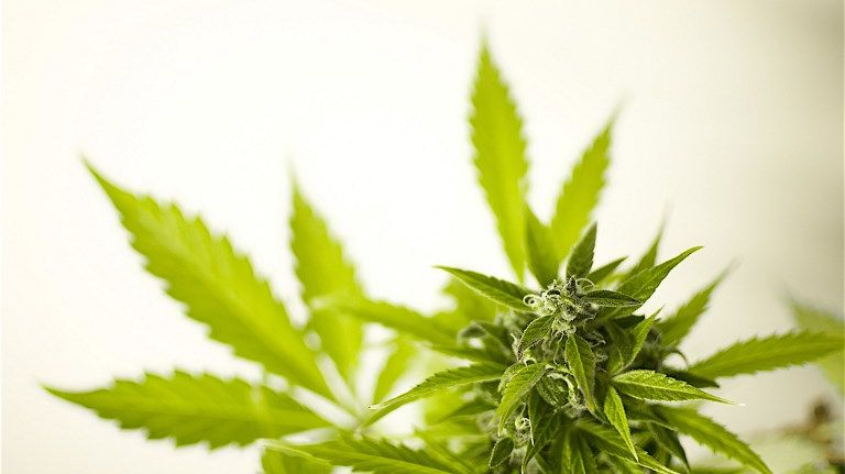 La cannabis thérapeutique pourrait arriver en France