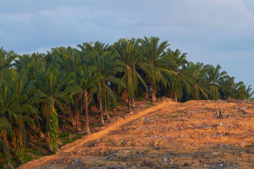 La déforestation borde la palmeraie à Bornéo