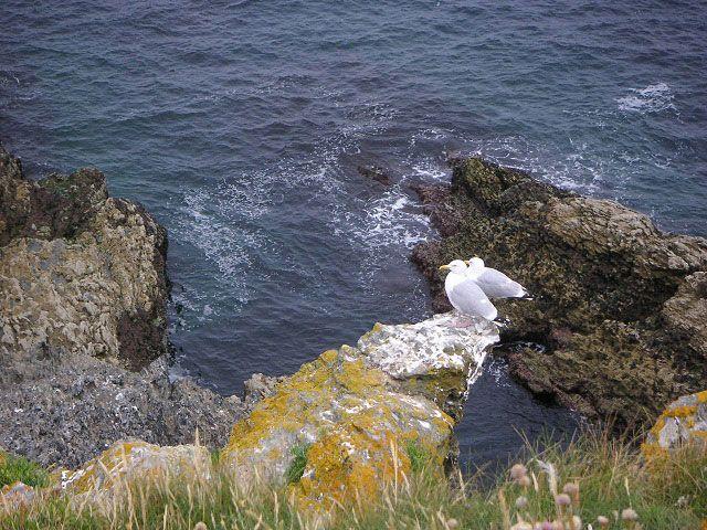 Île en Bretagne, goëlands marins