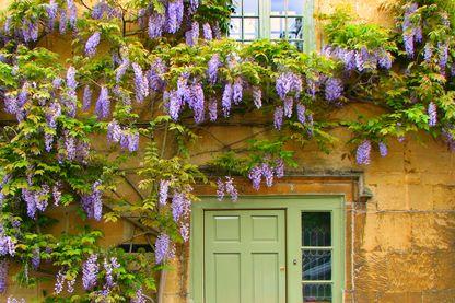 Glycines en pleine floraison sur les murs d'une maison en pierre.