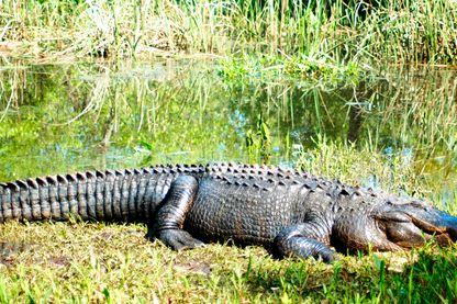 Des alligators sur la plage