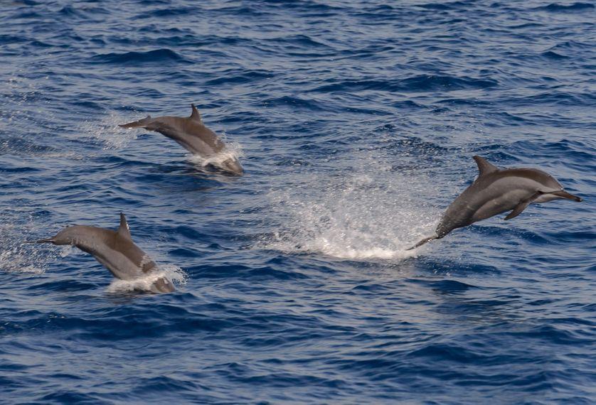 L'intelligence sociale des dauphins