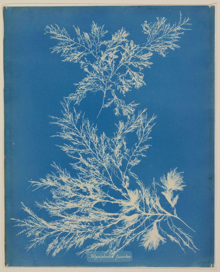 "Anna ATKINS, ""Photographs of British Algae, Polysiphonia fucoides"", vers 1845, Cyanotype sur papier, 34 x 28 cm,"