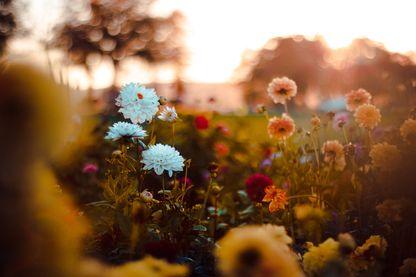 Champ de fleurs au coucher du soleil.