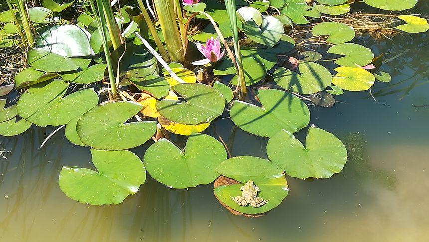 Le chant des grenouilles accompagne les visiteurs dans le jardin.