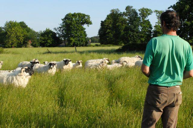 Charles et ses brebis, quelque part en Bretagne.