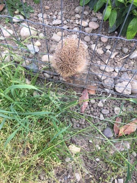 Un hérisson coincé dans une clôture rigide