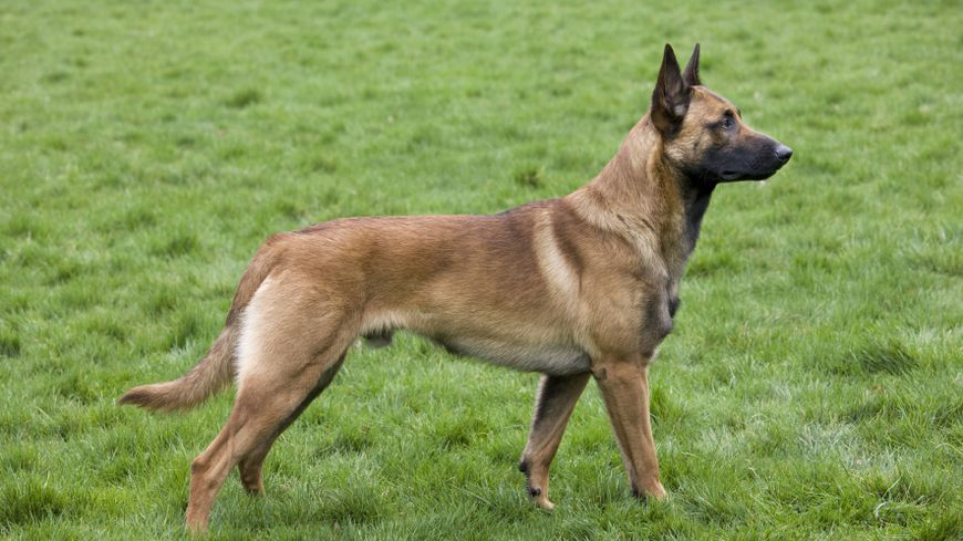 Un malinois (photo d'illustration)