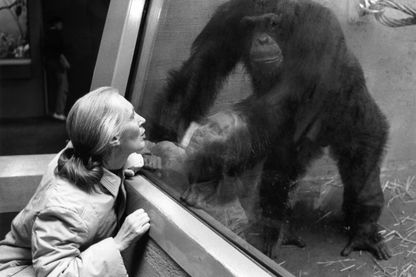 La primatologue Jane Goodall observe un chimpanzé au zoo de Zurich, le 15 janvier 1992.