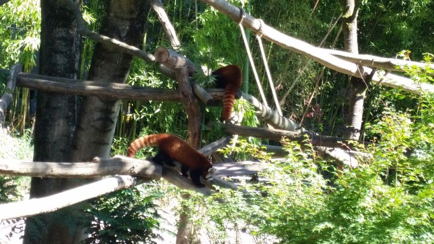 Les pandas roux du zoo de Mulhouse
