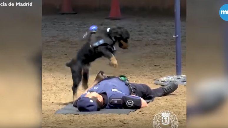 Poncho est un bon chien-policier, mais il ne sait pas faire de massage cardiaque.