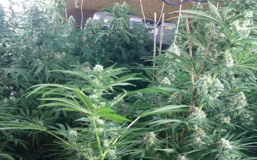 25 pieds de cannabis ont été découverts dans le local secret