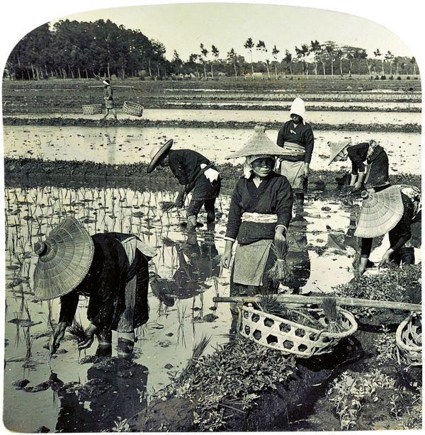 On a rice farm - transplanting the tender rice shoots - both sexes sharing the labor, Shizuoka au Japon [Repiquage du riz à Shizuoka au Japon, hommes et femmes partagent le travail] de H. C. White Co