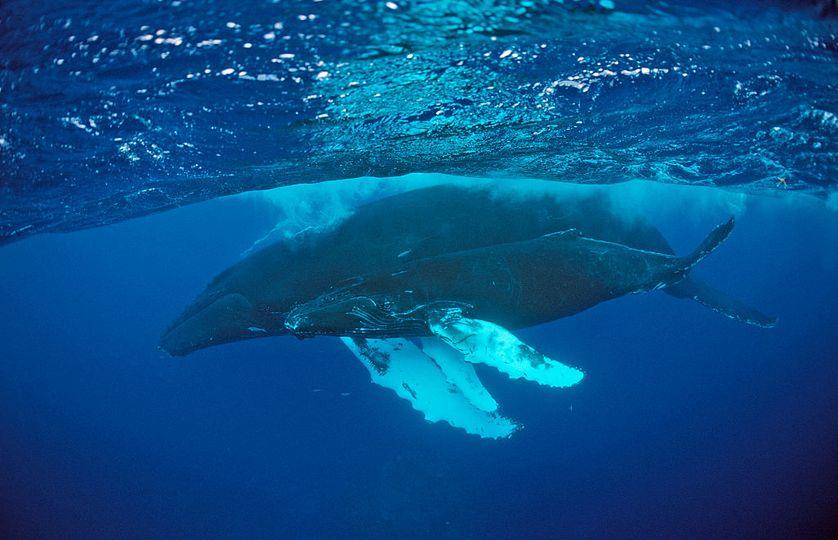 """La baleine reste l'objet d'une véritable tradition romanesque, dont """"Moby Dick """" est le plus beau fleuron."""