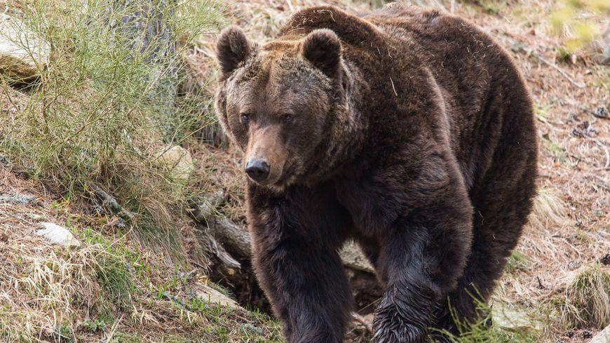 Un ours brun (photo d'illustration).