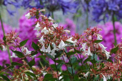 Fleurs d'abelia.