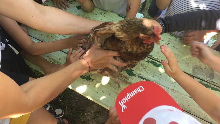 L'une des poules composteuses de l'école de Saint-Hilaire