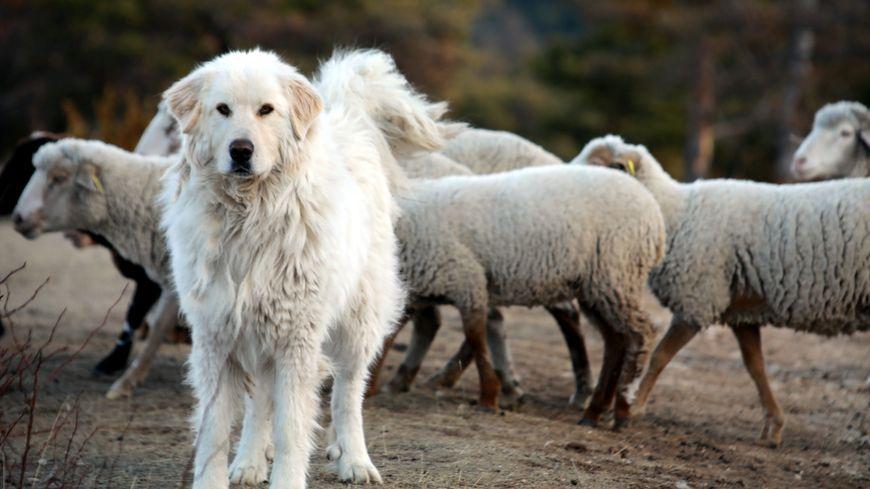 """Il y a 260 """"patous"""" en Isère qui chaque été gardent les troupeaux."""