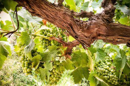 De vieilles vignes sont à nouveau cultivées