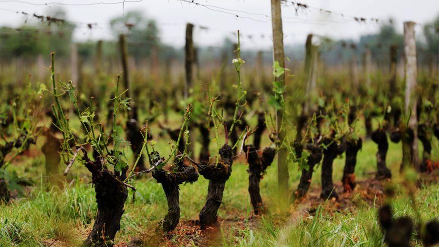 Les dégâts dans les vignes de Marcillac, en Haute-Girodne, après la grêle du 26 mai