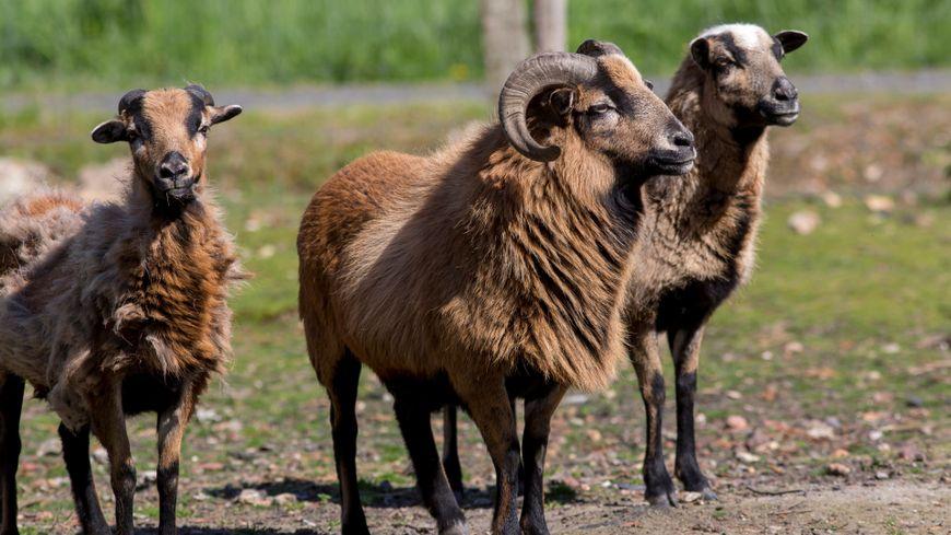 Les animaux se sont échappés de l'enceinte d'une station d'épuration où ils avaient été placé pour une tonte écologique de l'herbe