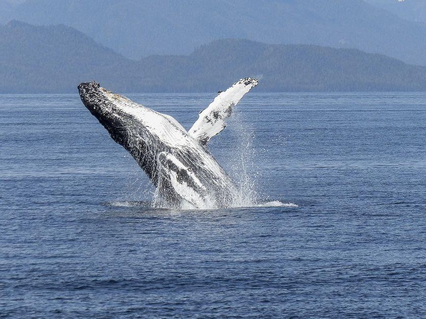 Une baleine à bosse