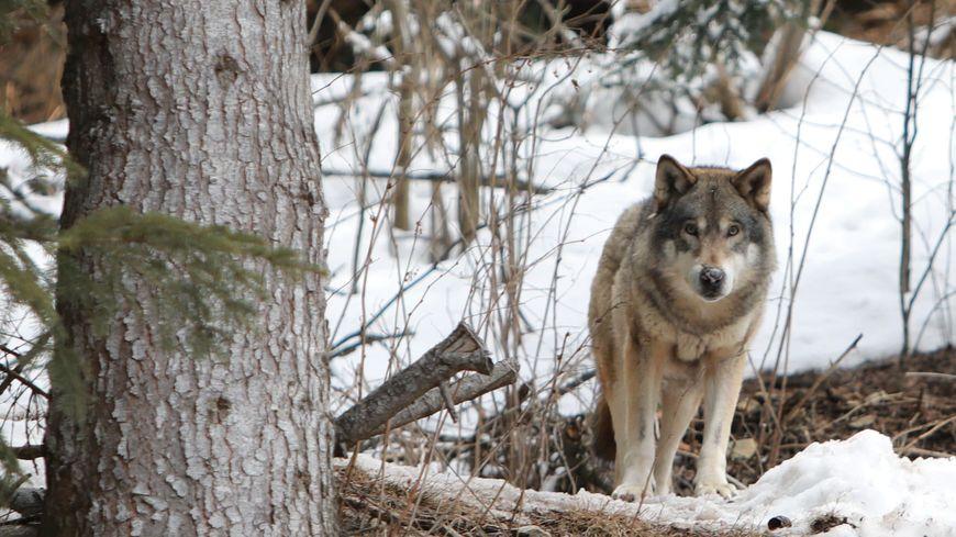 430 loups sont présents sur le territoire français, selon les estimations.