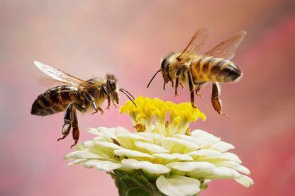 Les abeilles sont en train de disparaître à cause de nos mauvaises pratiques