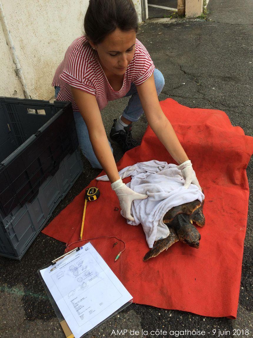 L'individu sauvé samedi est un spécimen encore jeune. Adulte, la caouanne peut atteindre 90cm et 150 kilos.