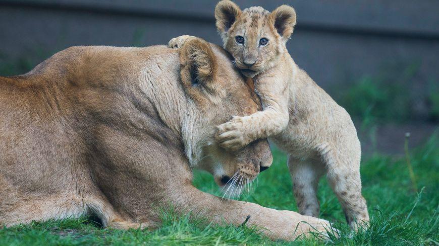 Un bébé lionceau au zoo de Thoiry.