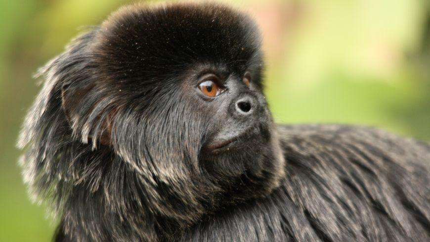 """Le petit singe """"Quito"""" a été retrouvé dans la région nantaise."""