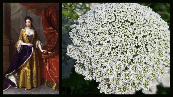 Anne, queen of Great Britain par Michael Dahl (détail, 1705) & La fleur de carotte