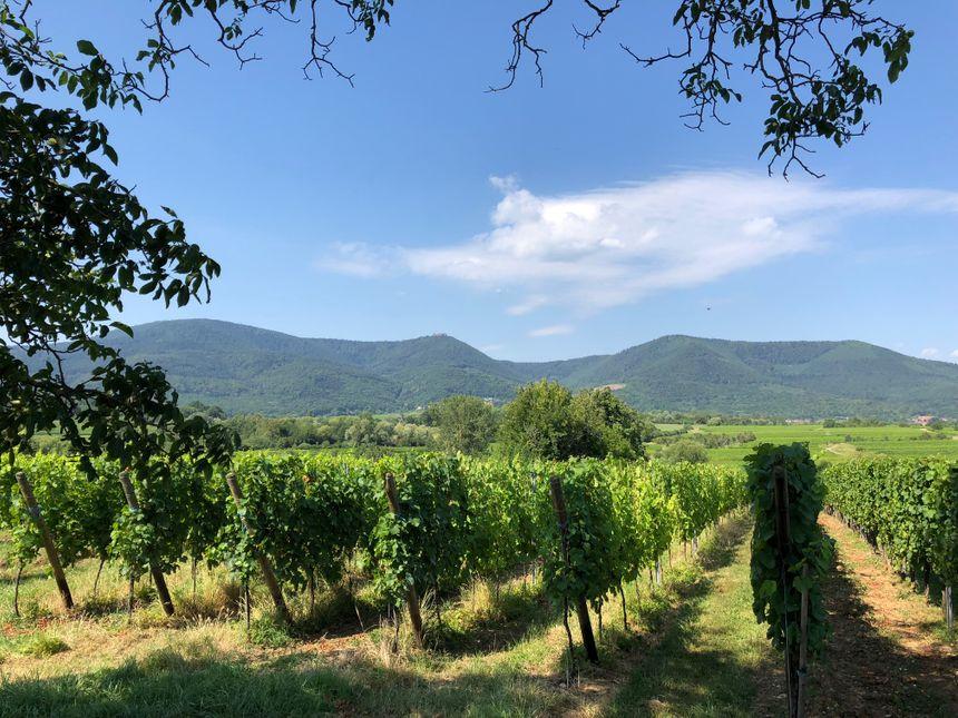 Le vignoble de Bernardswiller, un paysage dépaysant !