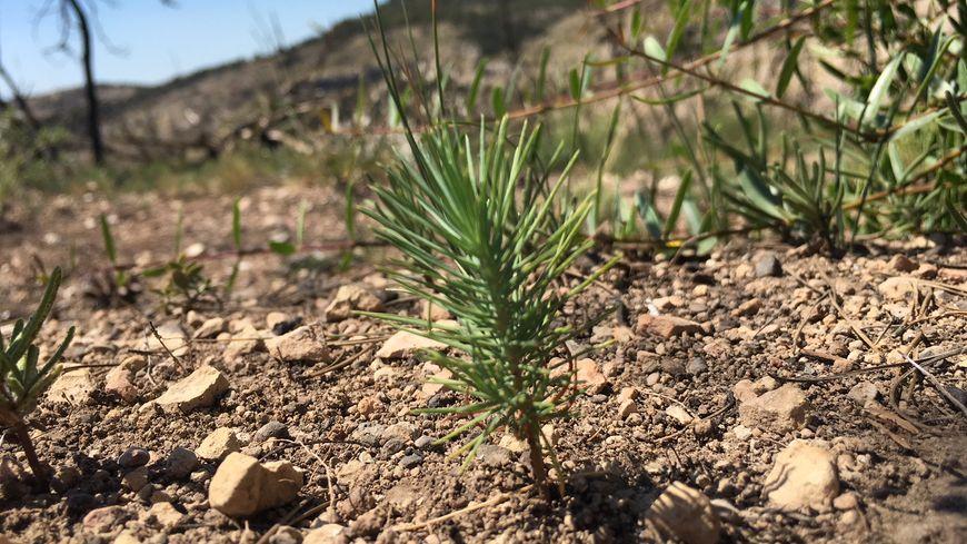 Une jeune pousse de pin d'Alep au milieu des bois encore calcinés de l'année dernière à la Bastidonne