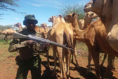 Surveillance d'un troupeau de chameaux par un garde privé