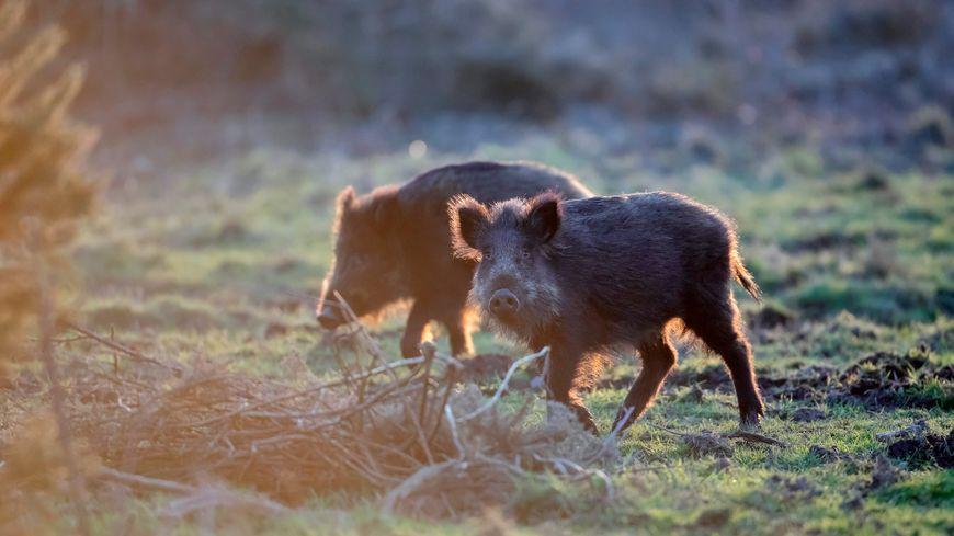 La chasse au sanglier est ouverte dès cet été en Isère (photo d'illustration)
