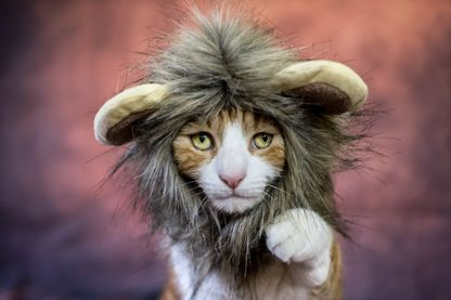 Un chat dans un costume de lion