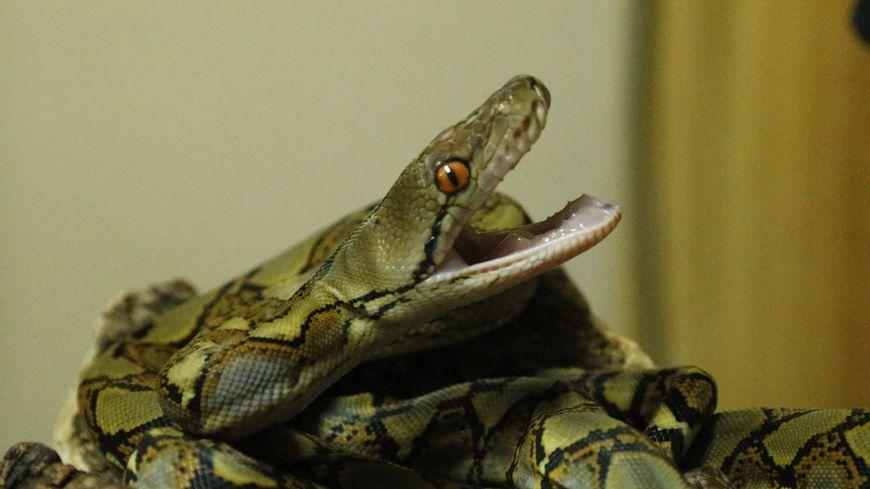 Cinq petits pythons ont vu le jour au Zoo d'Amnéville