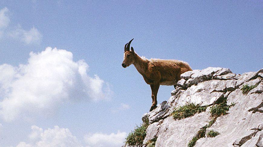 Une chèvre sauvage dans le massif de la Vanoise