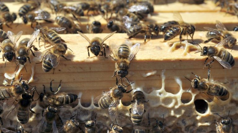 Une ruche d'abeilles noires