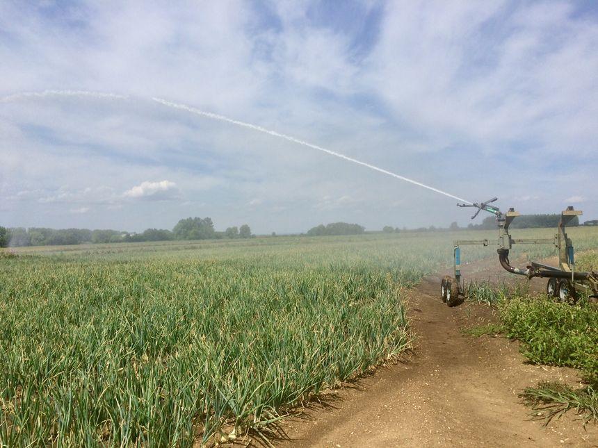 15 hectares de pommes de terre irrigués malgré la sécheresse : comme leurs voisins les oignons, elles sont sauvées