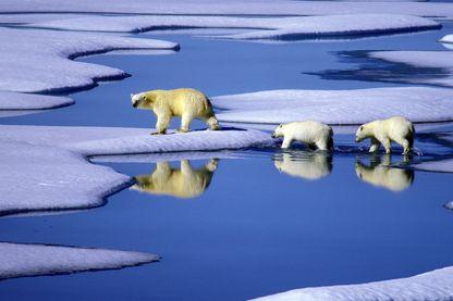 En Arctique le réchauffement climatique est deux fois plus rapide que sur le reste du globe et affecte la faune et la flore de manière irréversible